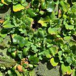 Art Knapp Water Plants 3
