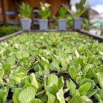 Art Knapp Water Plants 4