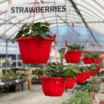 Art Knapp Strawberries